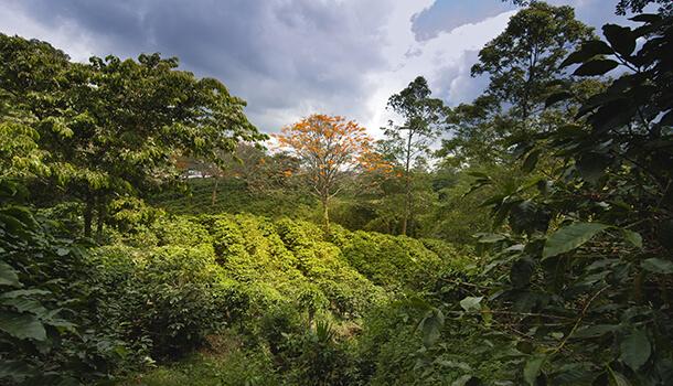 CoffeeColumbianPlantation