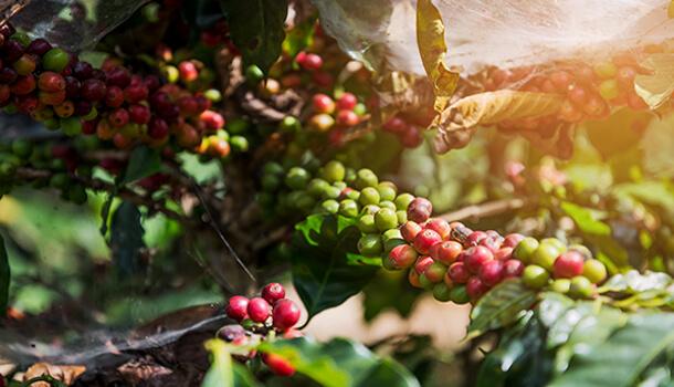 CoffeePlantation