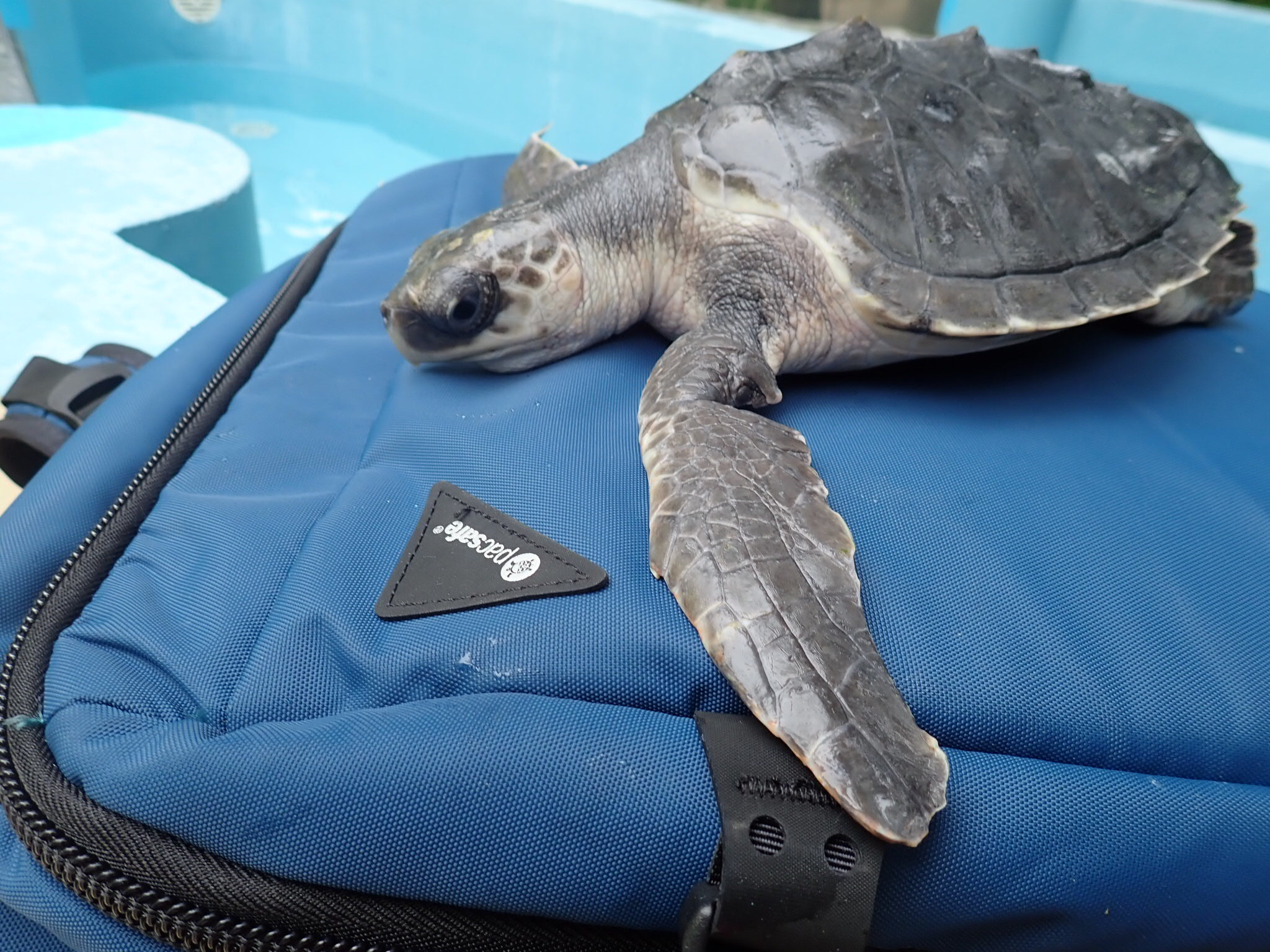 The Trans Maldivian Airways transport turtles all over the Maldives! This juvenile Hawksbill was the first sea turtle to fly to our rescue centre in January 2017!