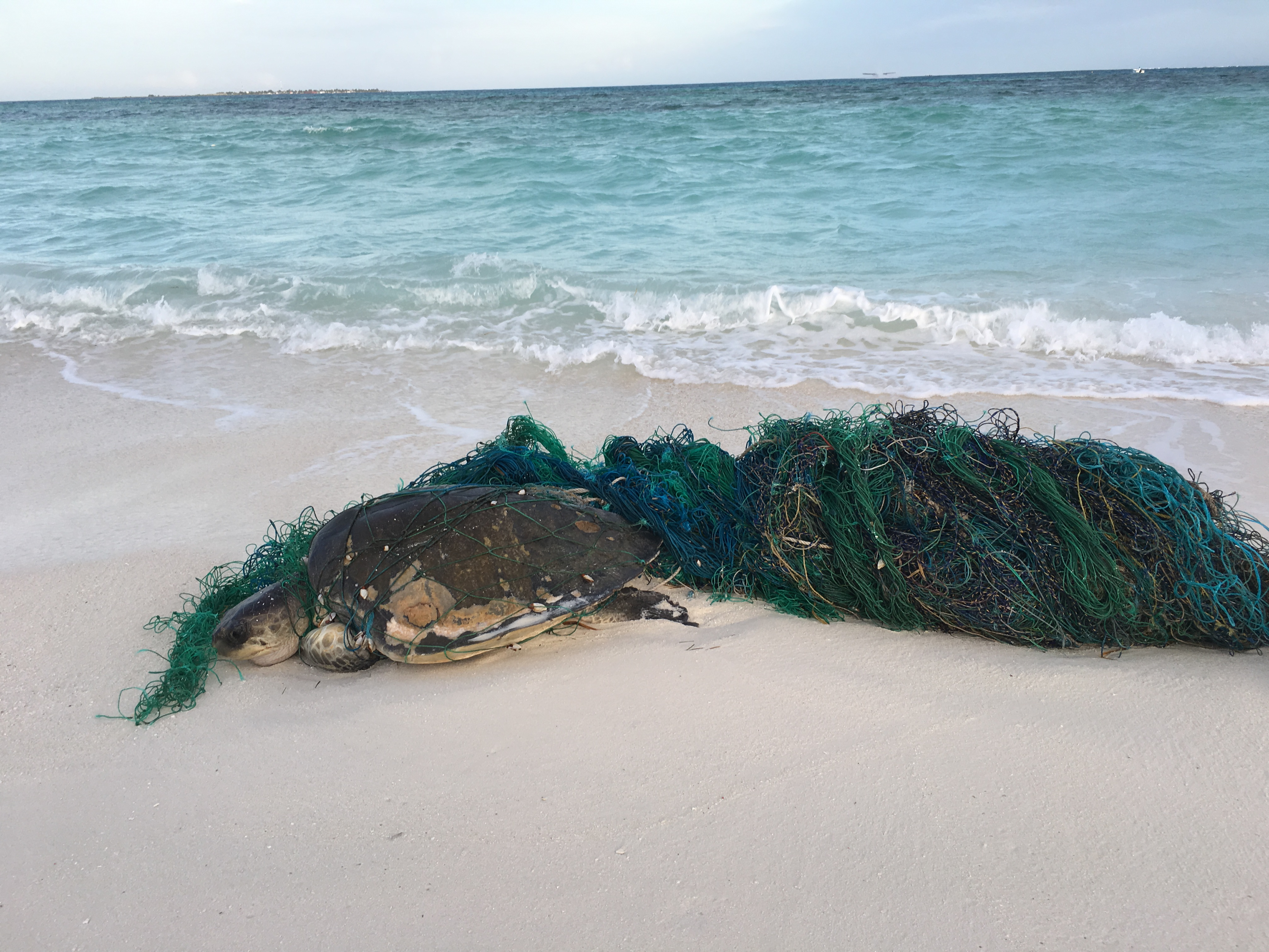 An entangled olive ridley turtle found washed ashore on Coco Palm Dhuni Kolhu 2017 (Photo credit: Claire Petros)