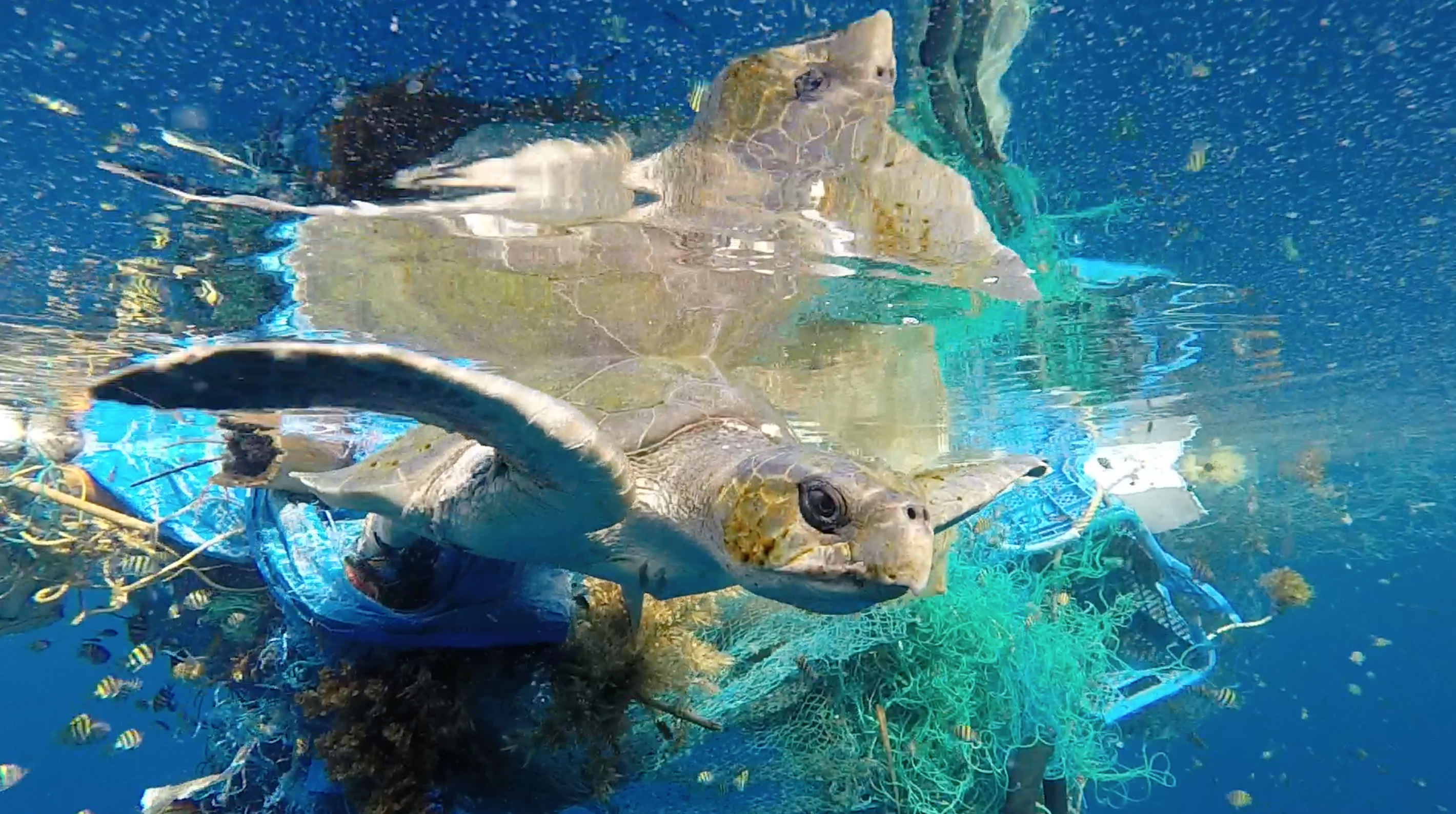 An entangled olive ridley turtle in the Maldives. (Photo credit: Martin Stelfox- founder of the Olive Ridley Project).